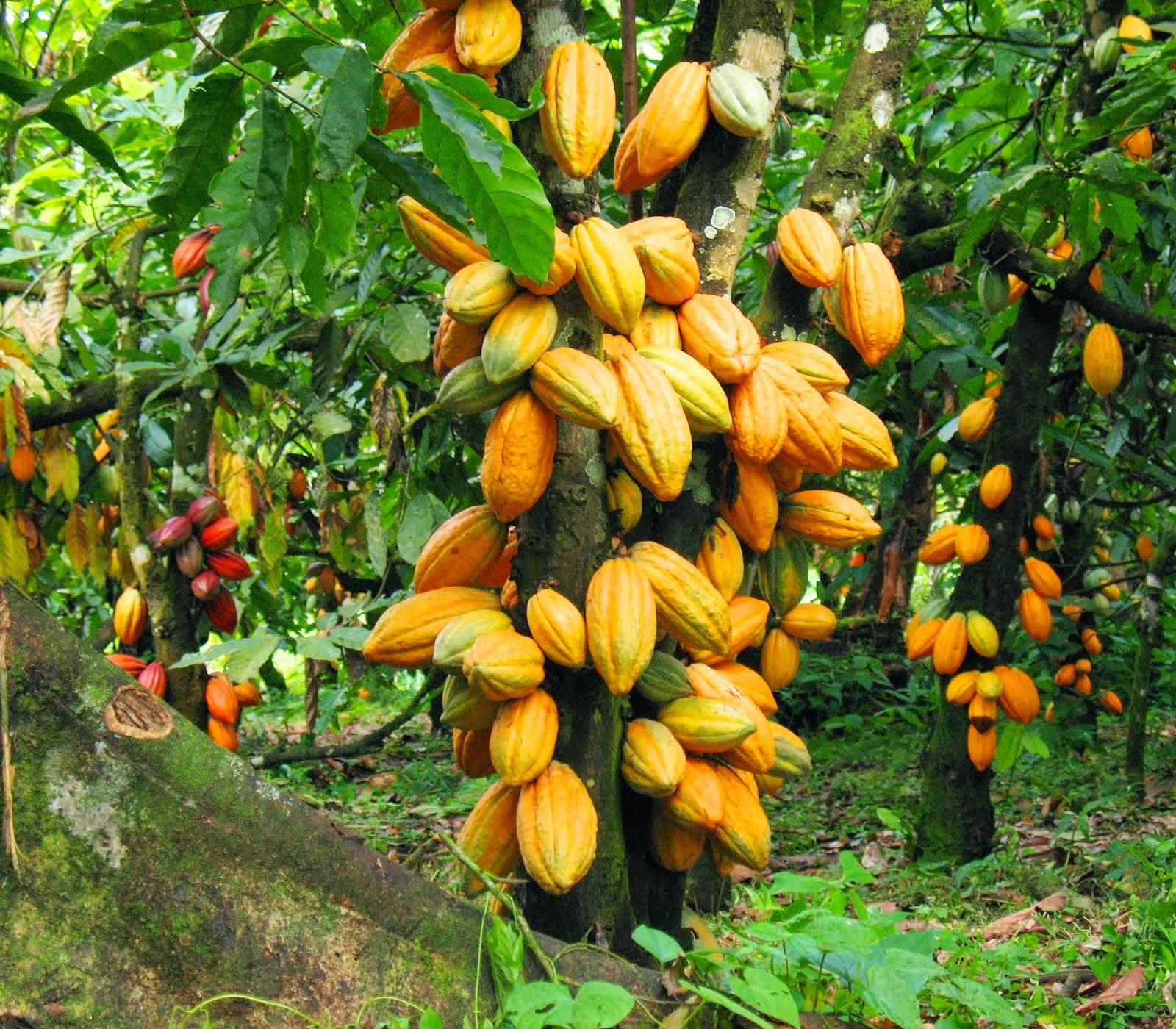 Дерево какао плодов